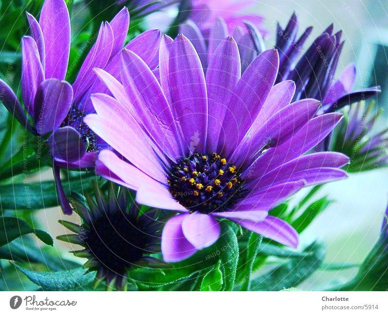 Flower Violet Delicate