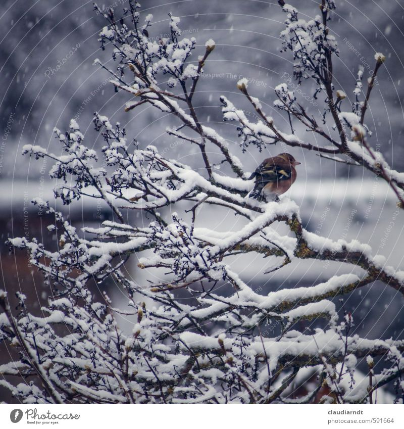Snow Finch Environment Nature Plant Animal Winter Ice Frost Snowfall Tree Bushes Bird Chaffinch 1 Freeze Wait Cold Twigs and branches Sit Colour photo