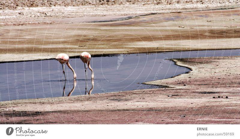 FlamingoBingo Chile Vacation & Travel Salar de Atacama Animal Pink Water Sand Desert