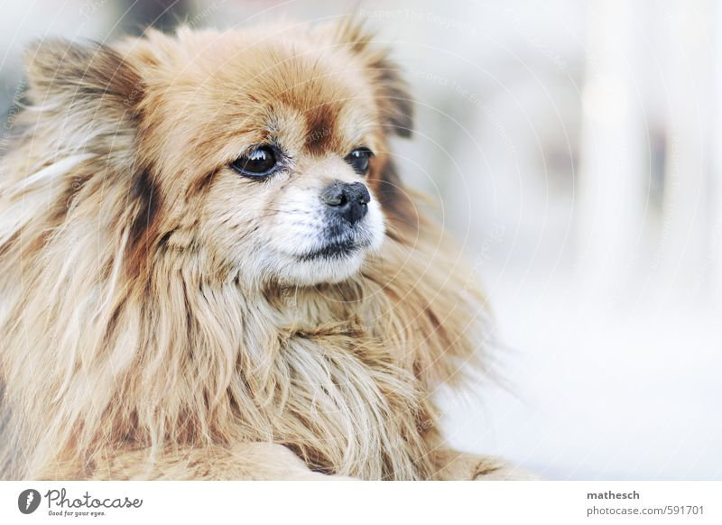 pekinesis Animal Dog 1 Small Cute Brown White Colour photo Exterior shot Deserted Copy Space right Neutral Background Day Shallow depth of field Animal portrait