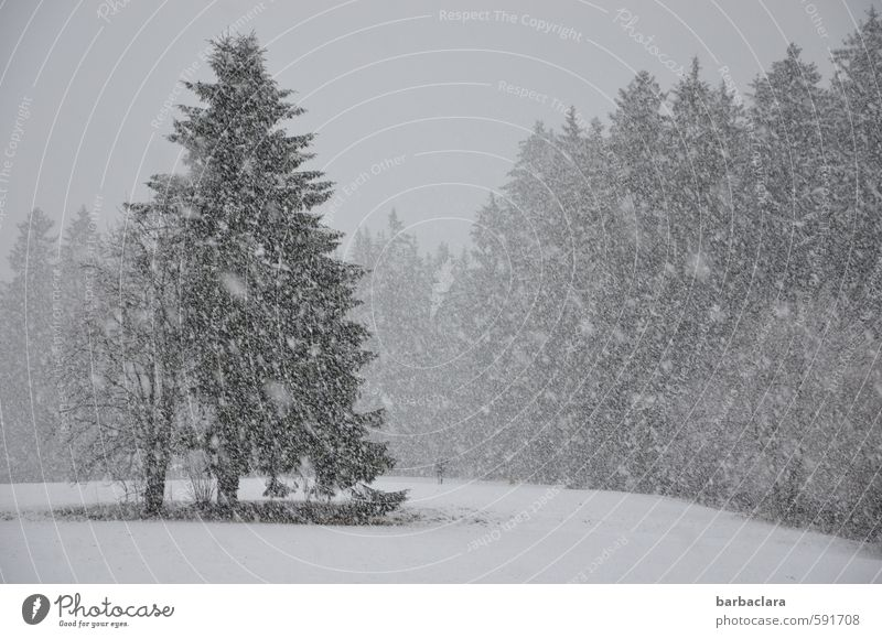 Black Forest at its best 1 Human being Landscape Winter Snow Snowfall Tree Dog Bright Cold Many Gray White Moody Joy Calm Movement Expectation Idyll Nature