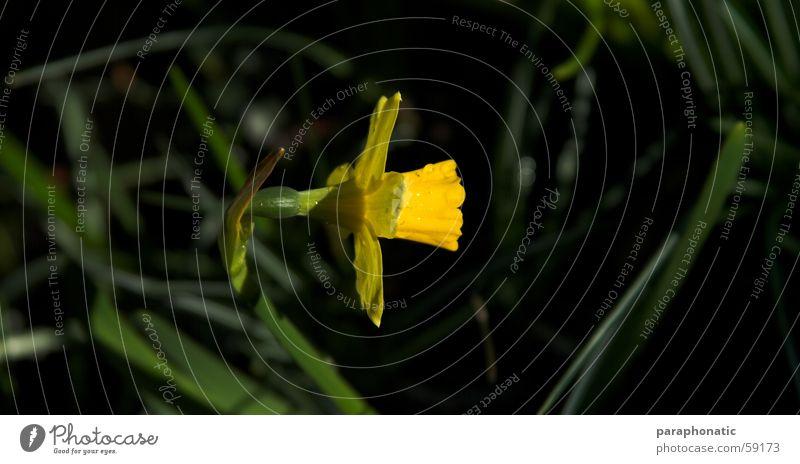 Green Sun Flower Spring Garden Line Lawn Perfect Narcissus Adjust Wild daffodil