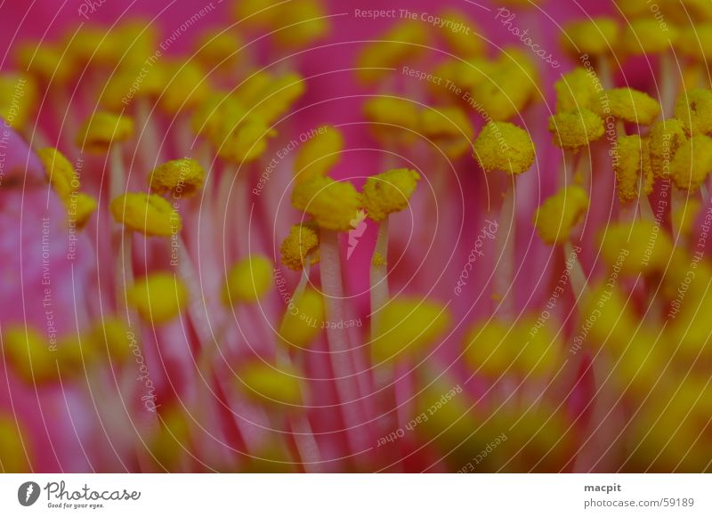 Flower Plant Summer Yellow Blossom Spring Pink Near Pollen