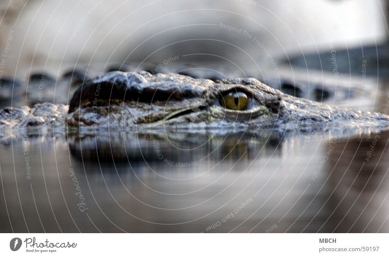 On the lookout Crocodile Camel hump Surface of water Concealed Animal Dangerous Water Eyes Barn Prongs Wild animal