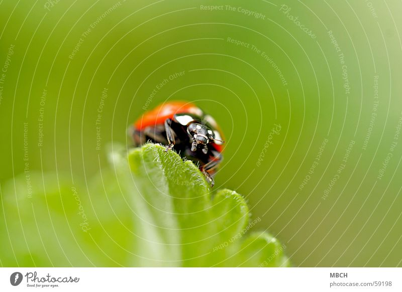 White Green Leaf Black Animal Legs Orange Insect Beetle Ladybird Feeler Prongs