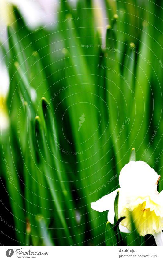 White Green Summer Grass Spring Narcissus