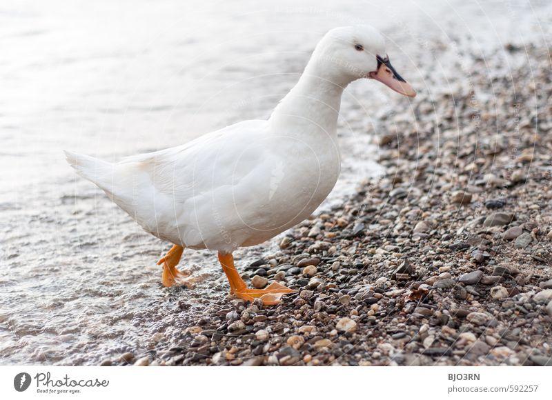 Water White Animal Environment Gray Swimming & Bathing Stone Bird Going Orange Wild Feather Walking Wet Cute Curiosity