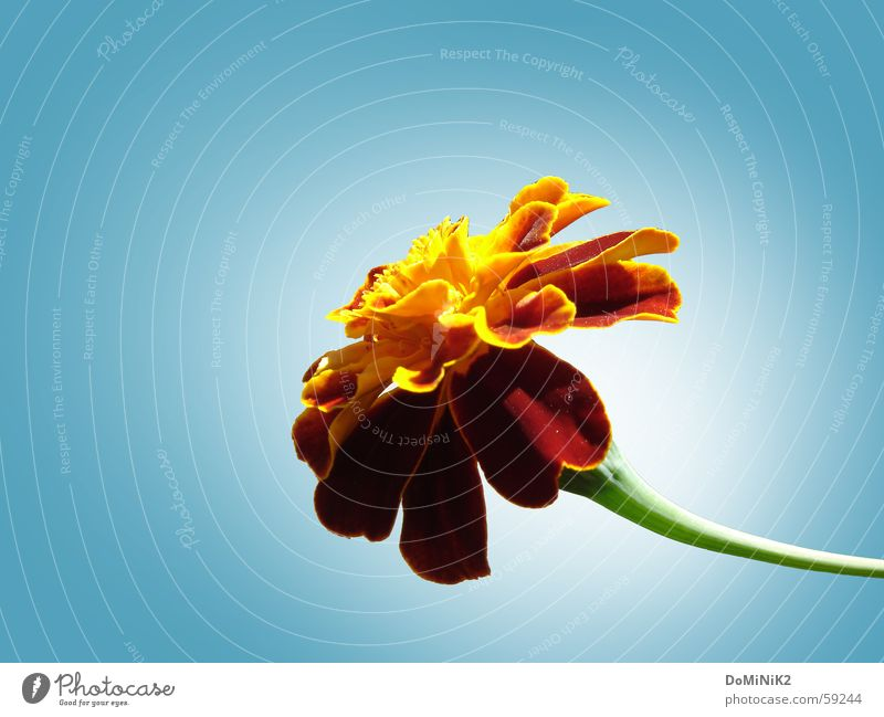 Nature Beautiful Flower Blossom Brown Blossom leave Flower stem Cloudless sky Marigold