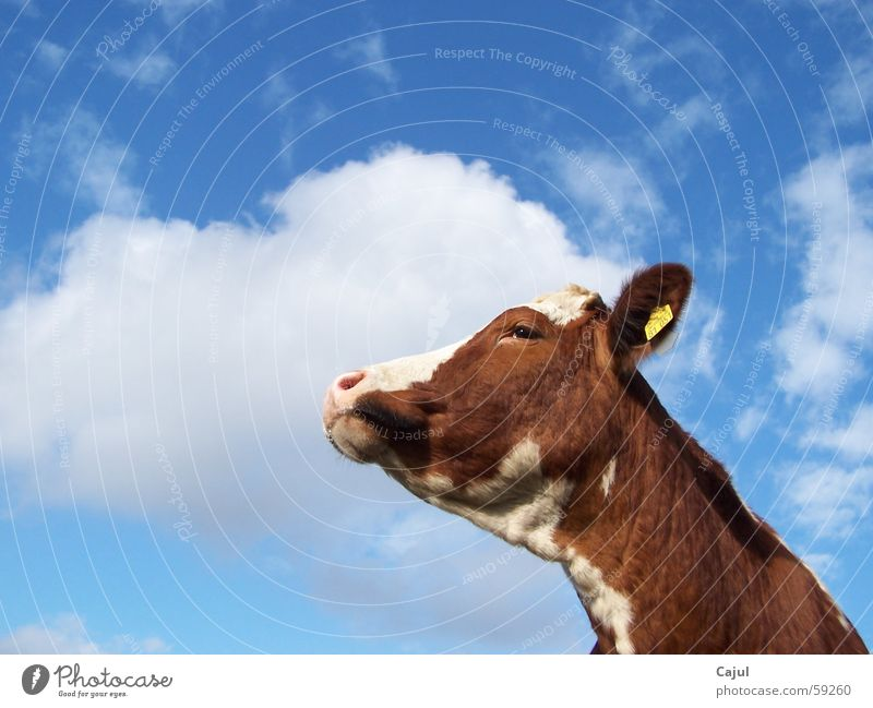 toward heaven Cattle Bull Signs and labeling Cow markings Clouds Digits and numbers Pelt Pattern Brown Grass Summer Light Sunlight Beautiful Animal Snout pale