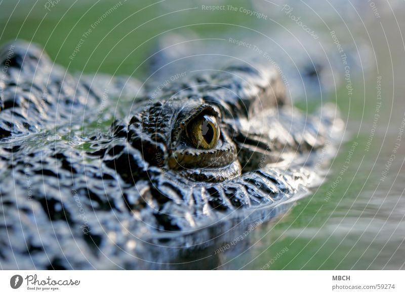 Eye to eye with the danger Crocodile Surface of water Pupil Animal Dangerous Water Wild animal Eyes Animal face Animal portrait Looking into the camera