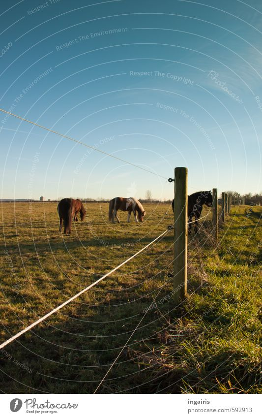 farsightedness Nature Landscape Sky Cloudless sky Horizon Beautiful weather Grass Meadow Pasture Animal Horse Iceland Pony 3 Herd Pole Fence Fence post