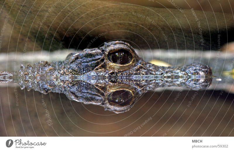 Water Animal Eyes Animal face Surface of water Mirror image Pupil Crocodile Water reflection