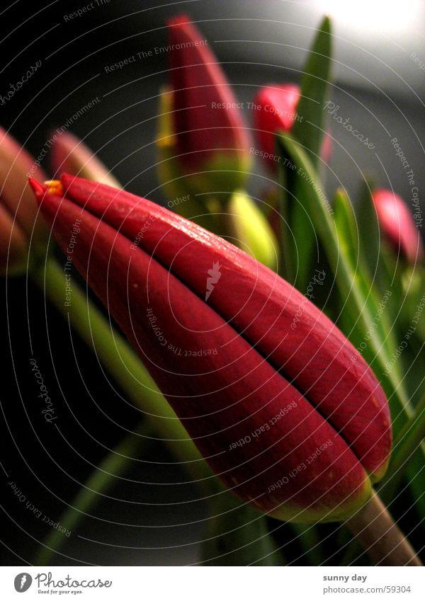 Flower Plant Red Blossom Diagonal Tulip