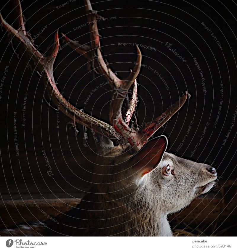 Attention Wild! Nature Forest Animal Wild animal Animal face Deer head 1 Sign Observe Hunting Growth Esthetic Authentic Free Life Ease Antlers Bast Blood
