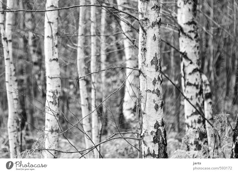 Nature Plant Tree Calm Winter Forest Environment Natural Simple Birch wood