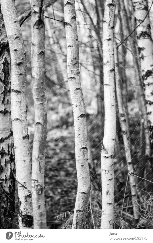 beanstalks Environment Plant Winter Tree Forest Natural White Nature Birch tree Birch wood Black & white photo Exterior shot Deserted Day Shallow depth of field