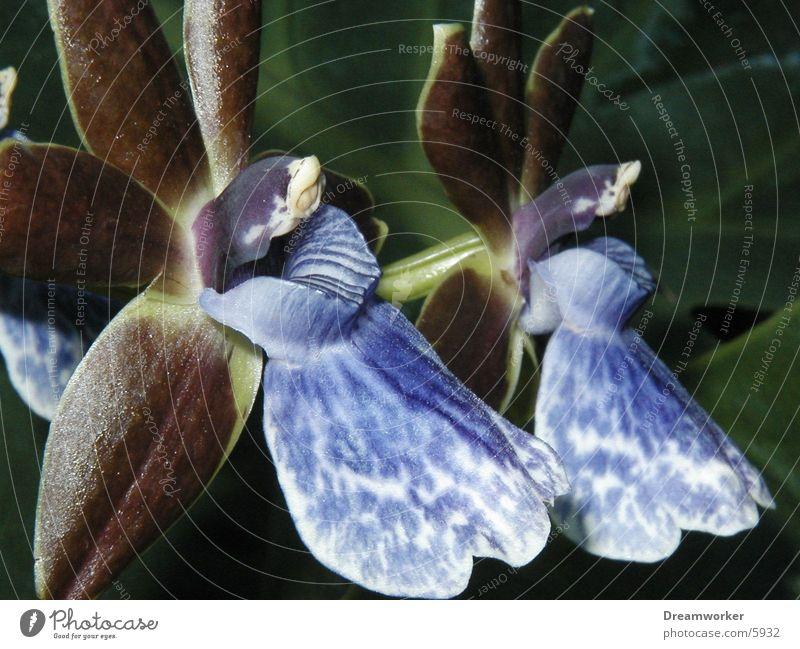 blossom Plant 2 Exotic Orchid zypopetalis Virgin forest hypophytic Blossom Fragrance