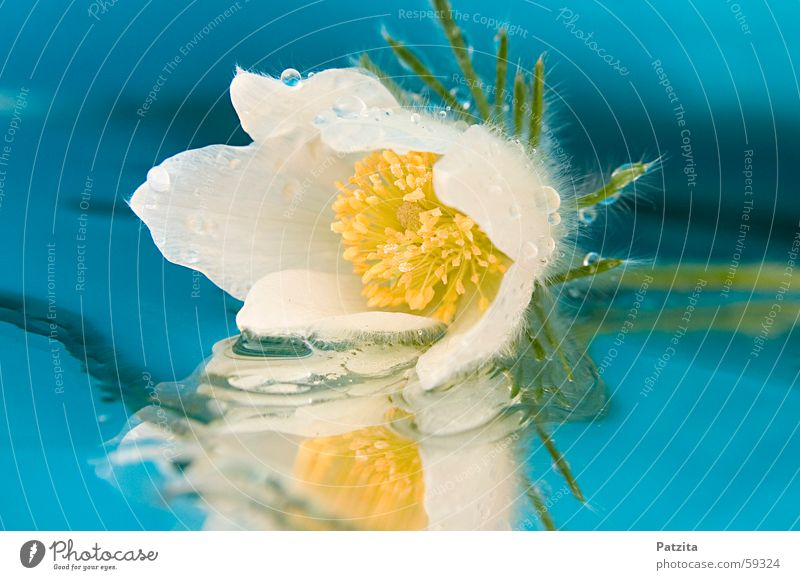 Water White Flower Green Blue Plant Yellow Drops of water Mirror Dew Anemone Christmas rose