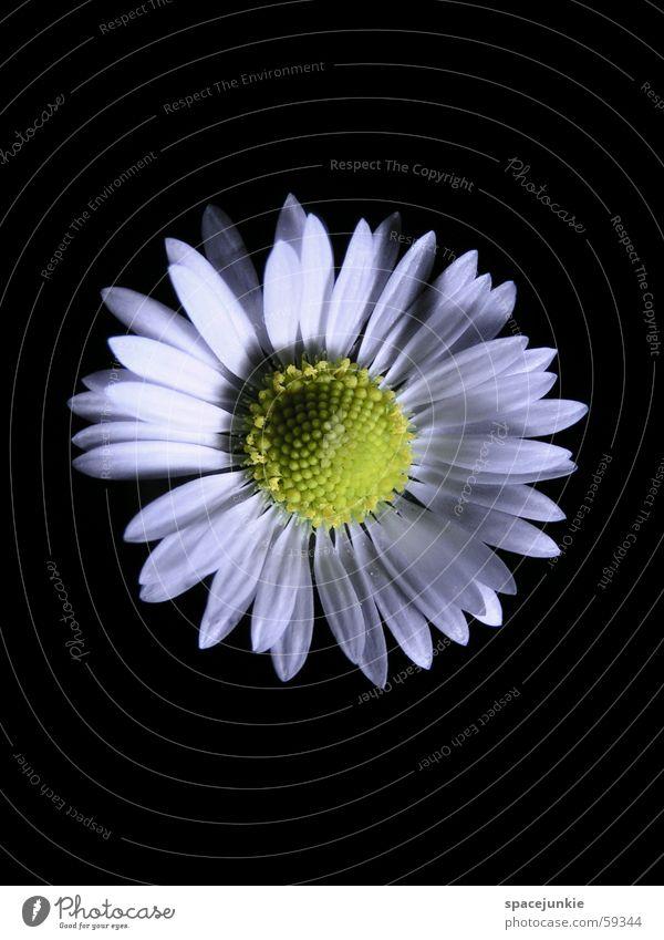 Baldur's Eye Daisy Flower Spring Blossom Black Yellow White Macro (Extreme close-up)