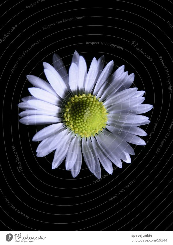 White Flower Black Yellow Blossom Spring Daisy