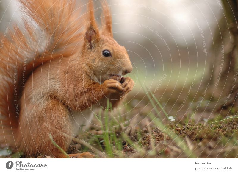 chomp Squirrel Forest Park Meadow Grass Nut To feed Nutrition Animal Wood flour Nature Sweet Small Red Speed Hair and hairstyles Blade of grass deniren