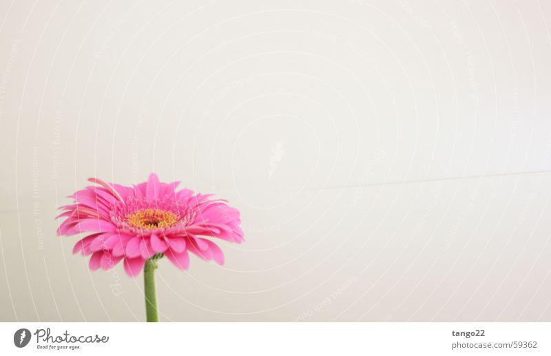 Flower Blossom Pink Stalk Gerbera Magenta Bright background