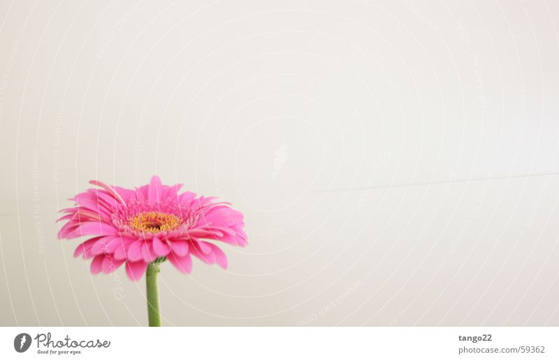 Flower Blossom Pink Stalk Gerbera Magenta Bright background