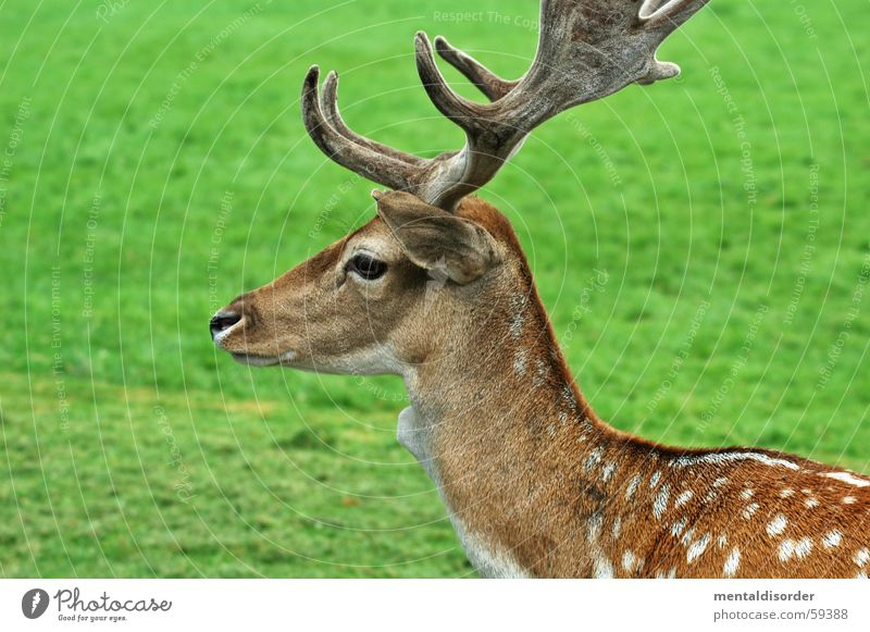 stain dwarf Roe deer Animal Brown Pelt White Delicate Small Antlers Leisure and hobbies Feeding Grass Green Buck Autumn Leaf Majestic Elk Nature Park Patch