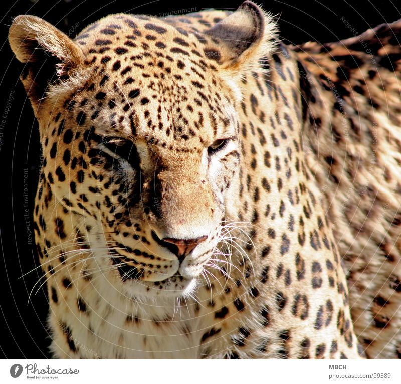 Sad Panther Pattern Big cat Animal Pelt Snout Whisker Dark Black Beige Brown White Point Nose Ear Sun Shadow Bright Eyes