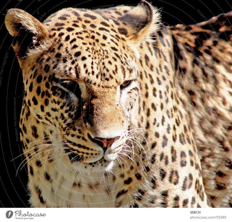 White Sun Black Eyes Animal Dark Bright Brown Nose Ear Pelt Point Beige Snout Panther Whisker