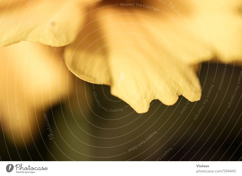 up and down Nature Plant Flower Blossom Fragrance Natural Yellow Blossom leave Detail Macro (Extreme close-up) Abstract Blur