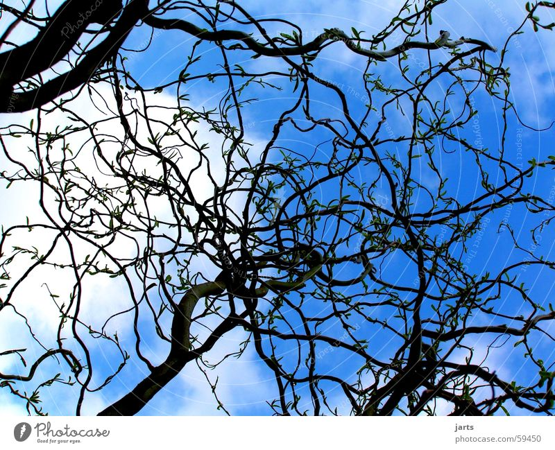 blue sky Willow corkscrew Clouds Tree Sky howde Blue Branch jarts