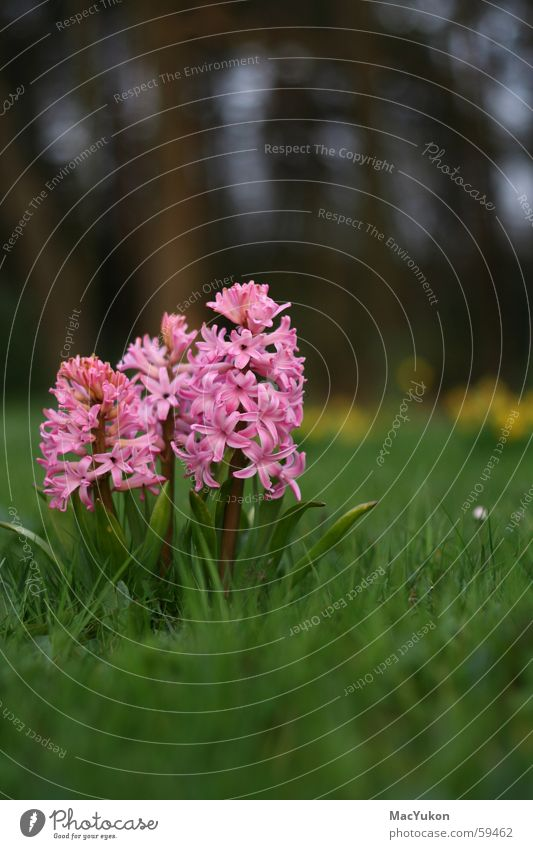 Flower Plant Pink Hyacinthus