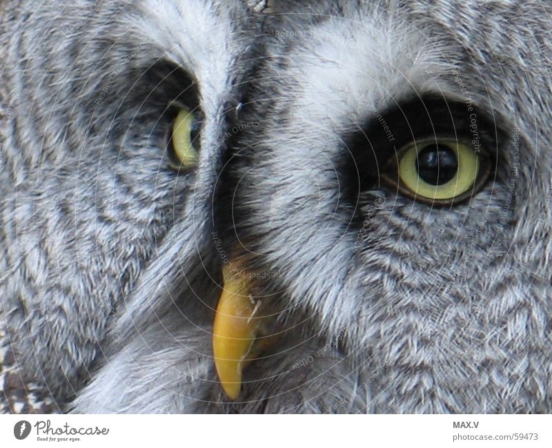 White Black Eyes Animal Gray Bird Flying Feather Owl birds Strix Beak Great grey owl