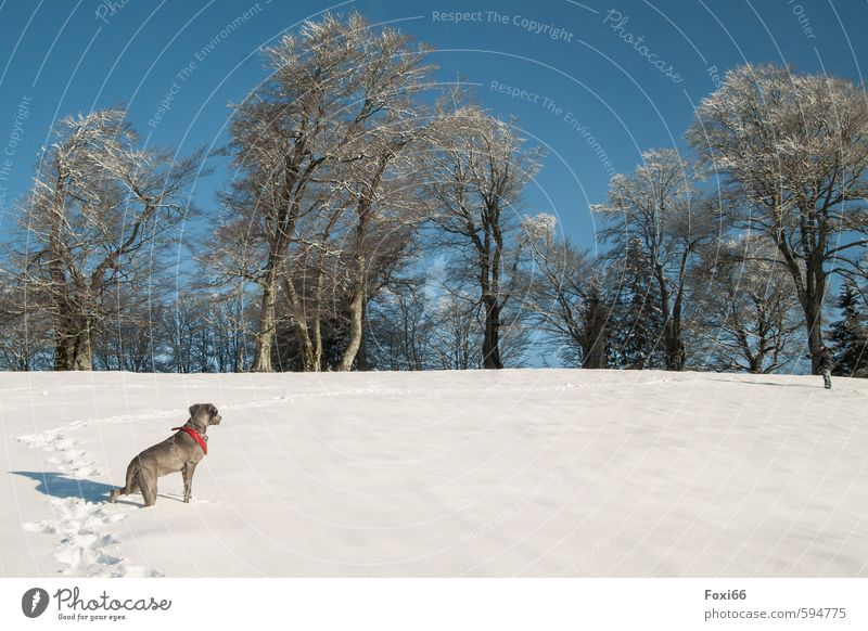 trace... Landscape Sky Winter Ice Frost Snow trees Meadow Hill Mountain Dog 1 Animal Observe To enjoy Playing Romp Cold Blue Brown White Brave Love of animals