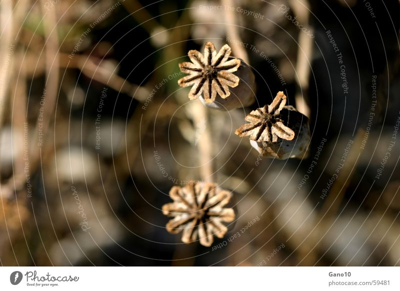 poppy seed capsules Poppy Plant Autumn Brown Dark 3 Faded Old three Star (Symbol) Search Dependence
