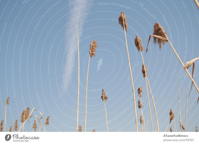 Nature Sky Blue Clouds Far-off places Meadow Freedom Field Grain Dynamics Common Reed Vapor trail