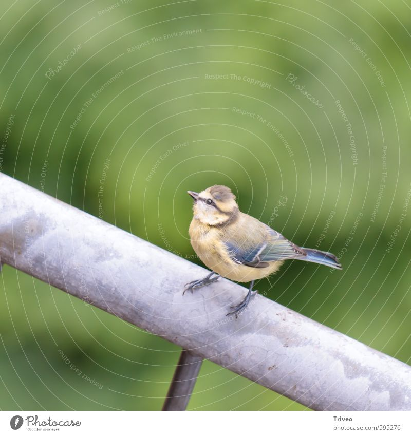 Bird with perspective Nature Animal Looking Sit Wait Curiosity Blue Brown Green Small Upward Feather Colour photo Animal portrait