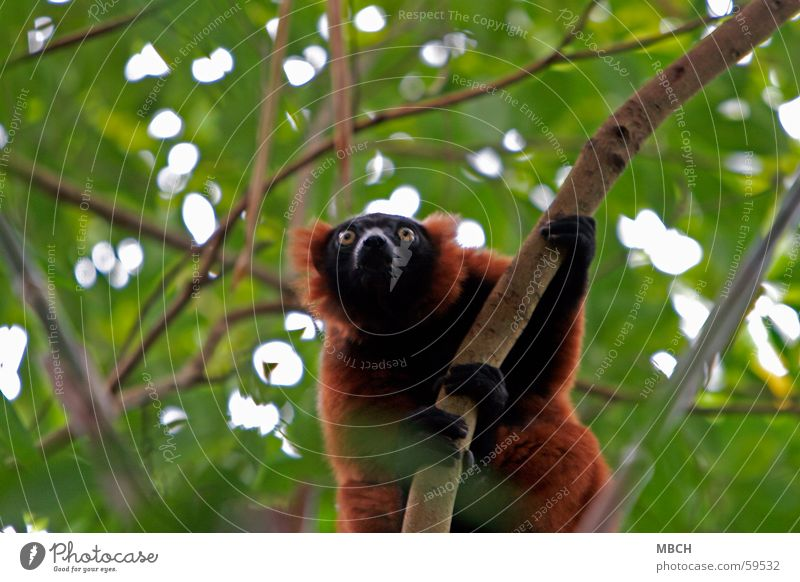 be on the lookout Prosimian Variegated Lemur Red Black Yellow Green Brown Pelt Animal Fingers Climbing To hold on Branch Looking Observe
