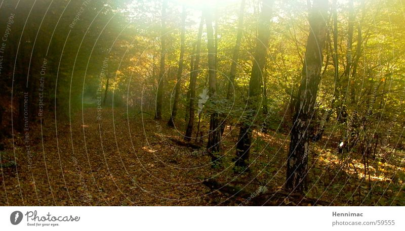 Gold forest. Autumn Leaf Forest Sun Lanes & trails Multicoloured Perspective Tree Light Morning Fresh Unclear Progress Radiation Evening Air Odor Fragrance Cold