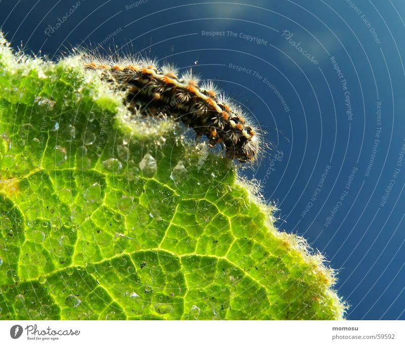 at the edge of the sheet Leaf Edge Insect Tiny hair Light Sunrise Spring Caterpillar veining Drops of water Rope