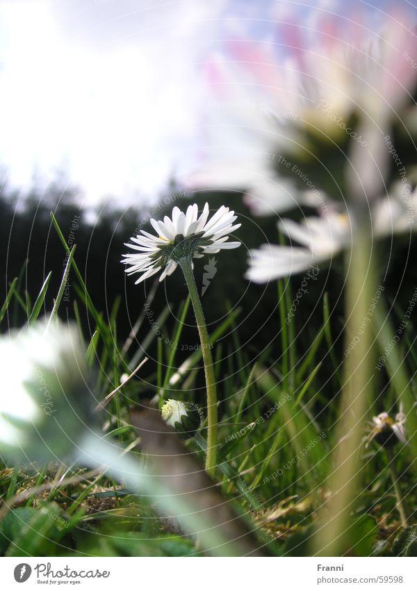 daisy Daisy Grass Meadow Spring Summer Multicoloured Blossom Flower Garden