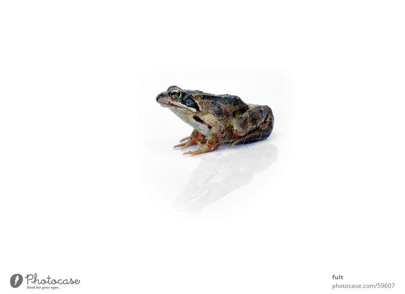 frog Animal Reflection Nature Frog Macro (Extreme close-up) Sit Wait Eyes reptiel