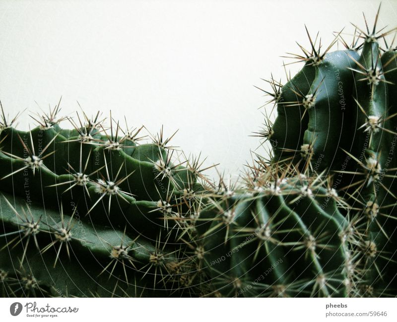 Green Plant Black Growth Cactus Thorn