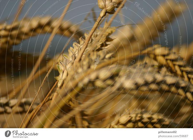 Summer Field Grain Harvest Wheat Ear of corn