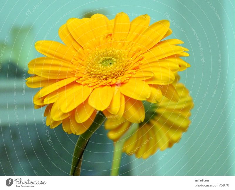 Flower Yellow Blossom Gerbera