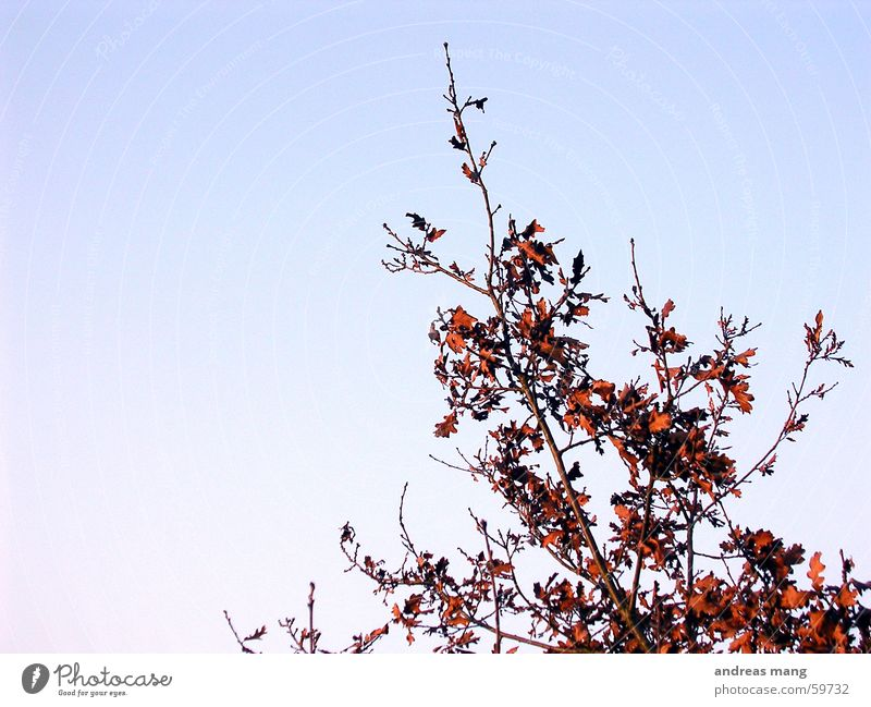 Sky Blue Red Leaf Bushes Branch Twig Branched