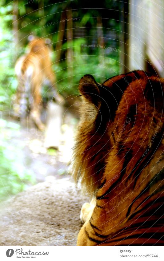 in the eye of the tiger Tiger Calm Looking Focal point Appetite