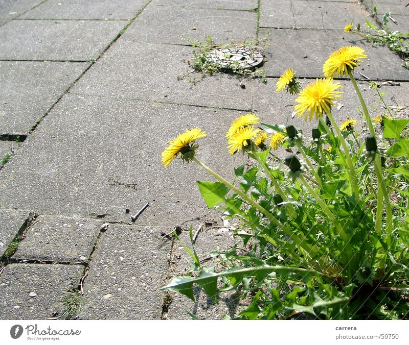 biting not... Dandelion Blossom Flower Yellow Green Gray Spring Plant Asphalt Sidewalk Beautiful Blossoming Pavement Meadow Street Beautiful weather Joy Stone