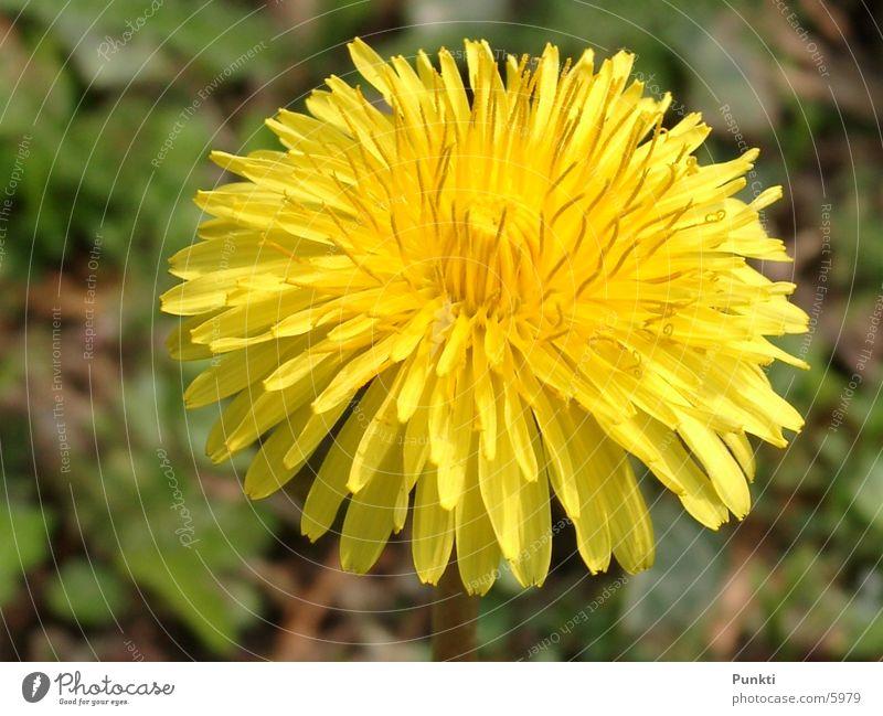 dandelion Flower Plant Nature